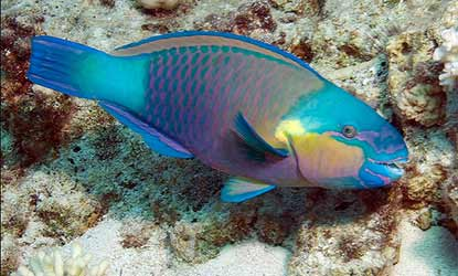 0707bulletheadparrotfish